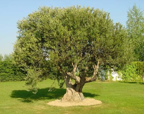 Olivo o acebuche sus cualidades y diferencias for Arboles para jardin de hoja perenne